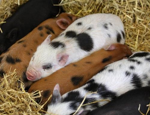 Saisonale Nachfrage nach Schweinefleisch steigt