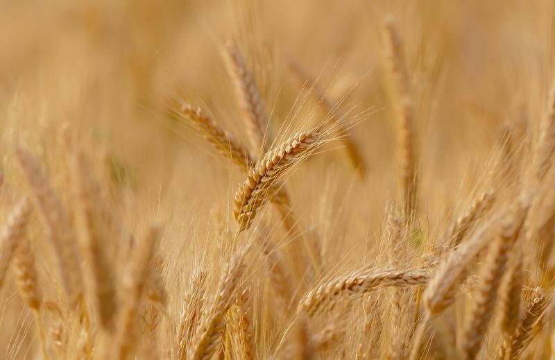 Spannende Kombination Winter-Weizen gegen Sojabohnen