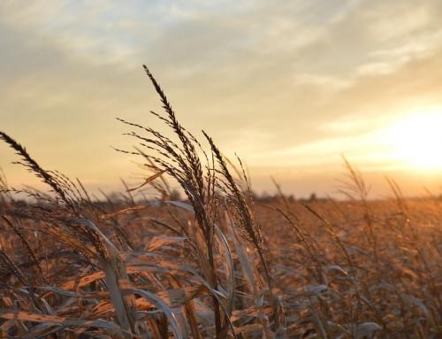 Mais gegen Weizen