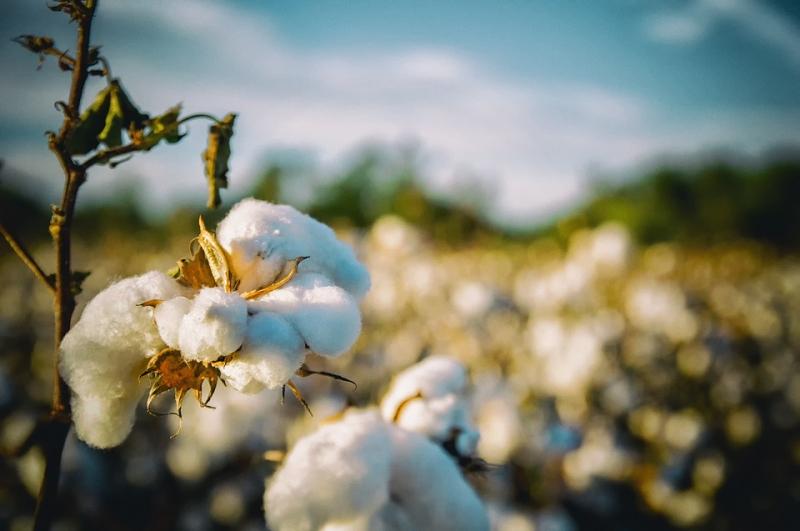 Terminmarkt: Baumwolle zwischen den Zeiten