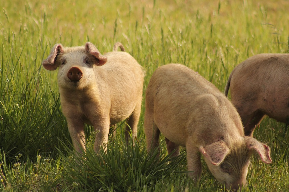 Schweinefleisch: Einstieg in den neuen Zyklus
