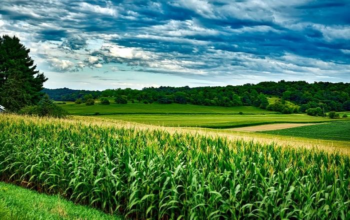 Mais: Zum Ersten, zum Zweiten und zum Dritten