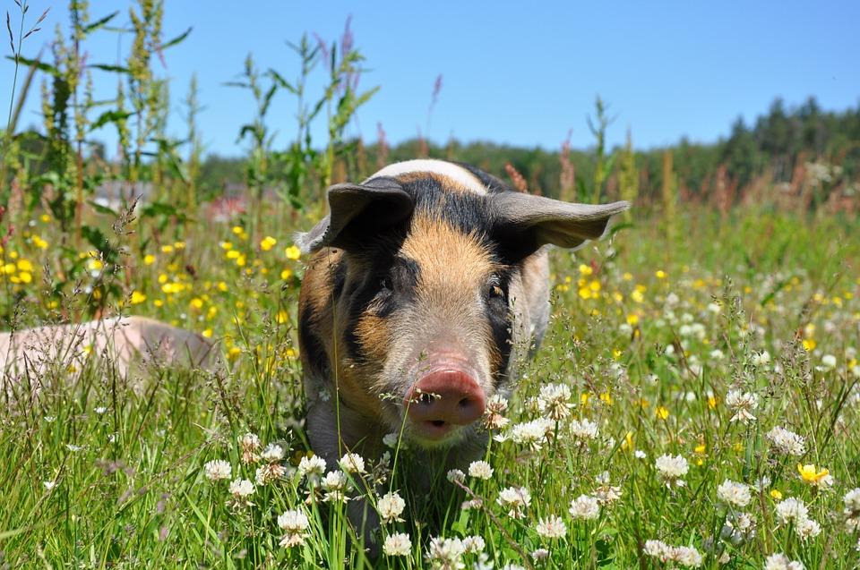 Wieder mit Schwein zum Gewinn?
