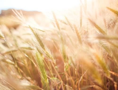 Es geht wieder um Weizen