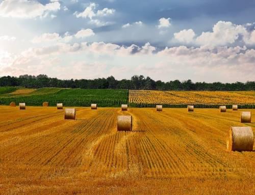 Harter gegen weicher Weizen